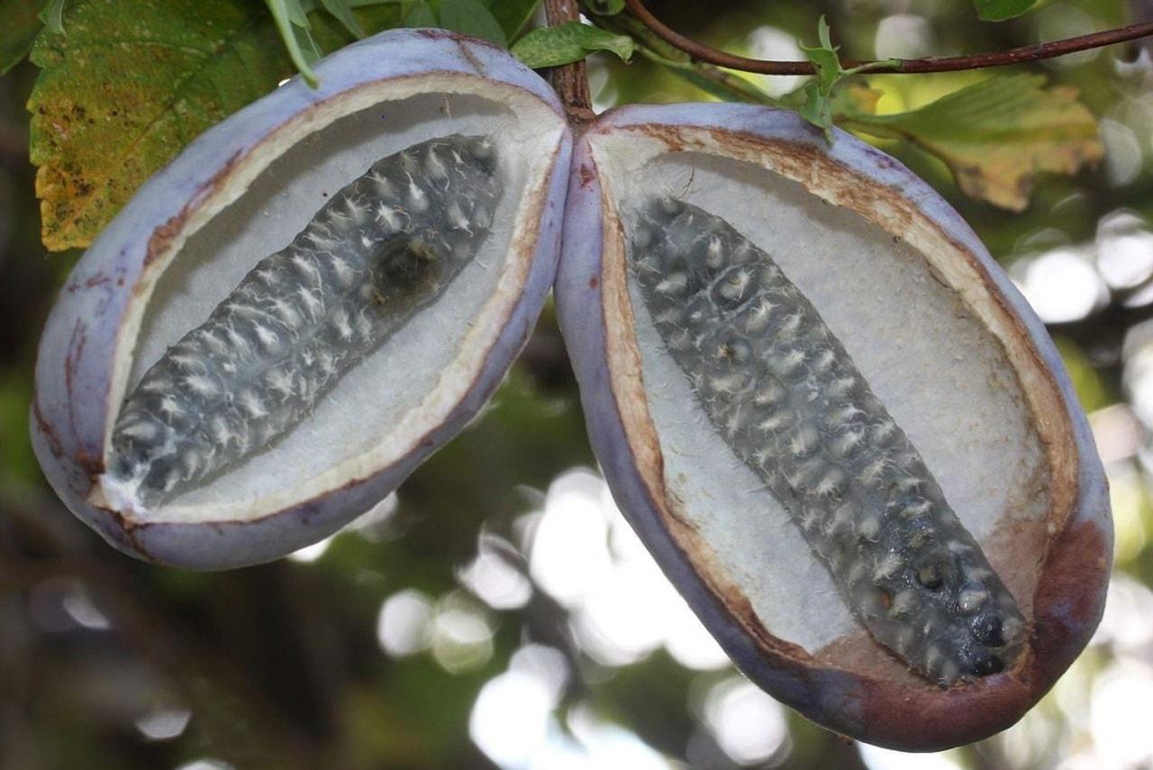 Cikolata Sarmasigi Meyvesi (Akebia)