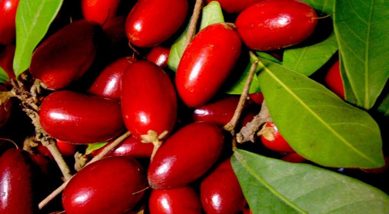 Mucize Meyve (Miracle Berry)