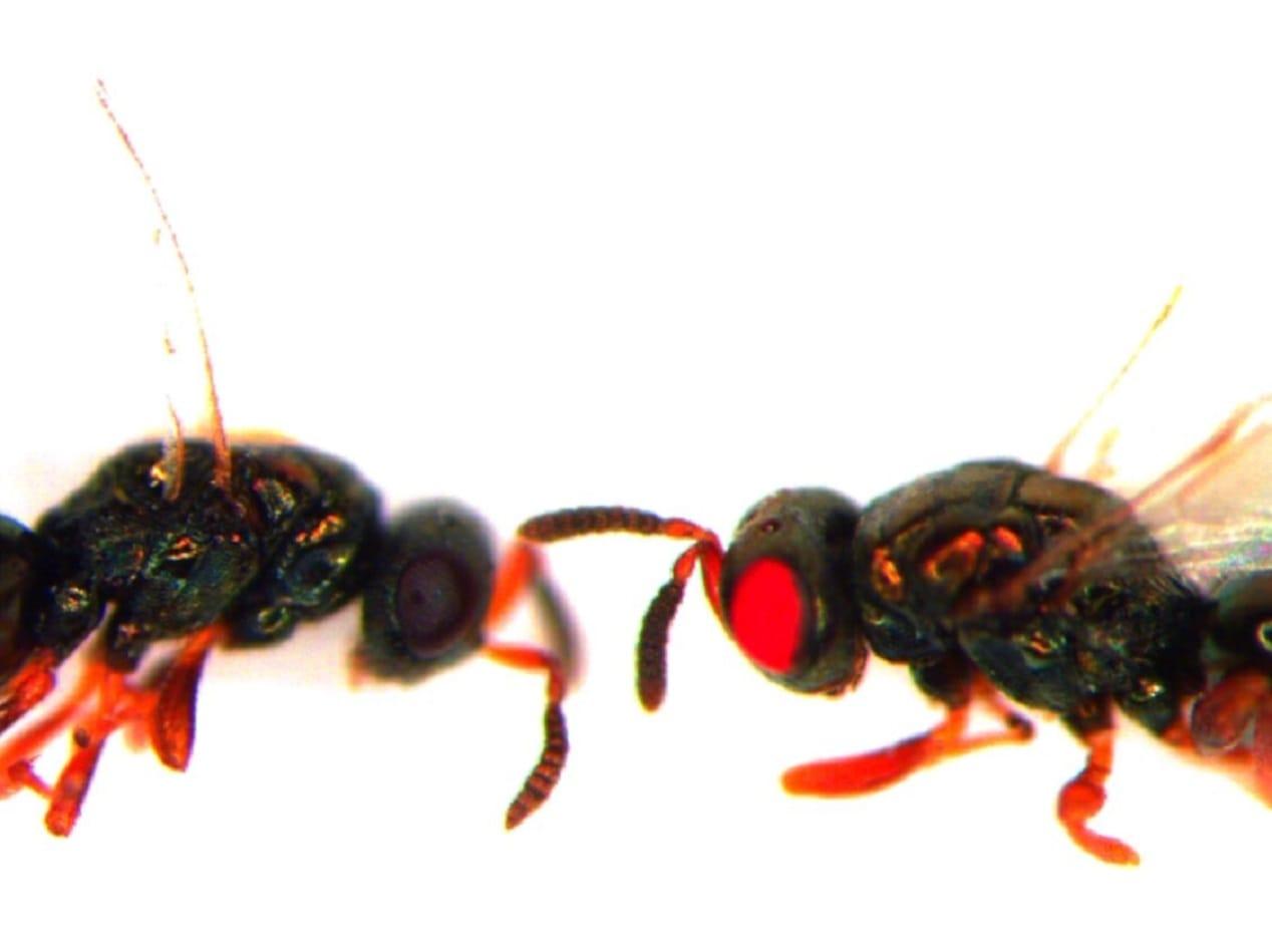 kırmızı gözlü arı