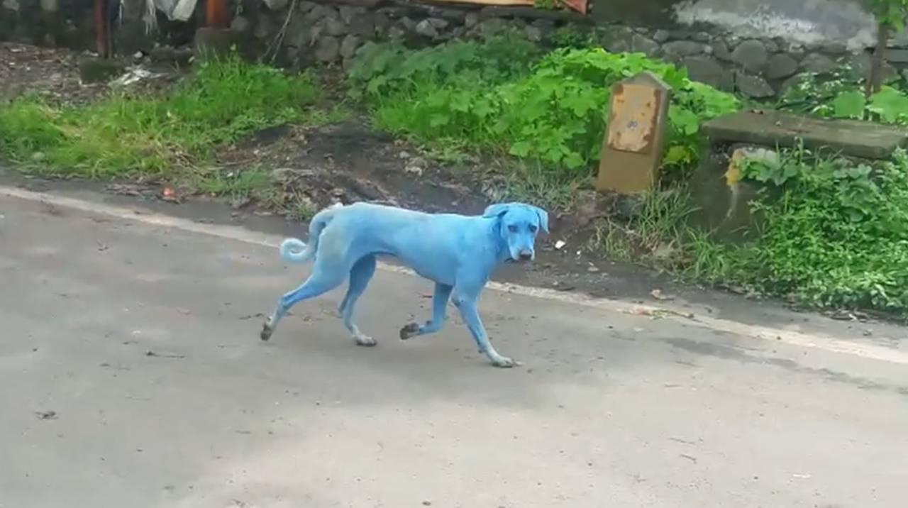 mavi köpek
